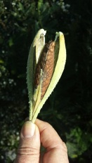milkweedpod320