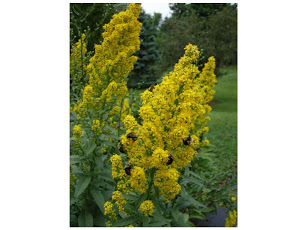 yellowplant